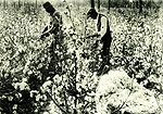 """For 130 Years, Alabama was a leading producer  of cotton. But the crop was hard on the soil  and hard on the people who grew it.  King Cotton, as it turned out, was a tyrant. King Cotton in Alabama: A Brief History"""" by Thomas W. Oliver, Alabama Heritage, Issue 35, Winter 1995 #alabamahistory #cotton"""