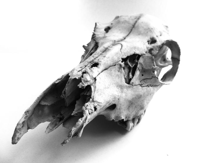 An image taken by myself georgia de buriatte of an animal skull black