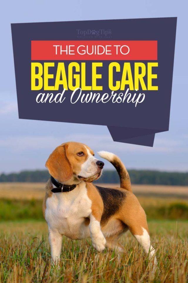 Beagle Breed Information Photos History And Care Advice Beagle