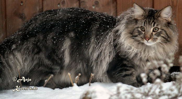 If only the Starks had gone with DireCats... Landsker Forest Cats   Norwegian Forest Cat Breeder   Pembrokeshire UK