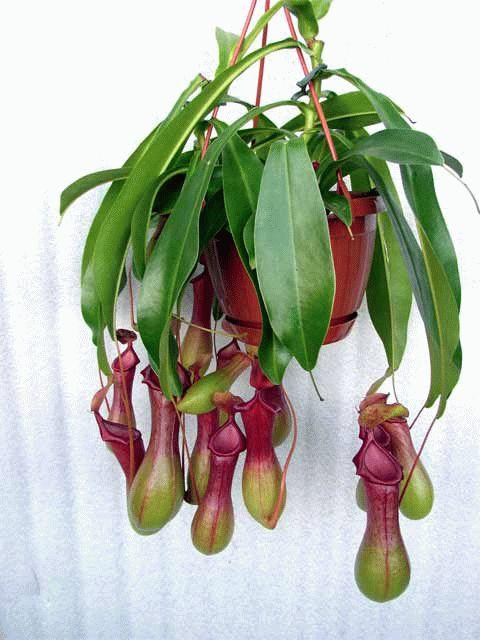 Nepentes - carnivorous plant