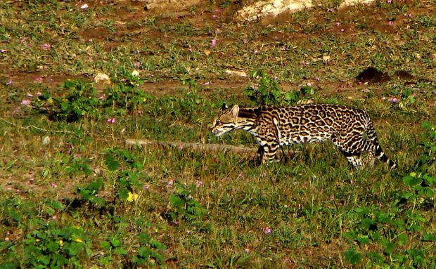 A jaguatirica (Leopardus pardalis) é um felino generalista. Pode ser encontrada em planícies alagáveis – como o Pantanal, em densas florestas – como a Amazônia, ou ambientes mais secos, como o Cerrado. Em sua dieta estão pequenos mamíferos, répteis, anfíbios e peixes. Apesar de não estar ameaçada de extinção, são caçadas por sua pele e compradas como animais de estimação. O desmatamento é outro fator que contribui para o declínio da população da espécie