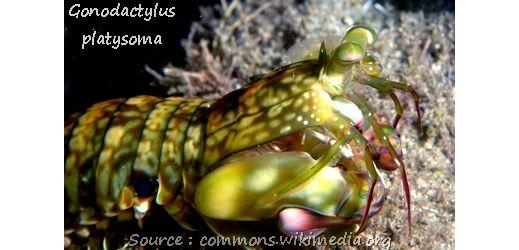 http://toutoblog.unblog.fr/2014/12/01/squille-ou-crevette-mante/