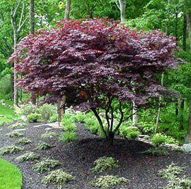 17 Best Ideas About Redbud Trees On Pinterest Eastern