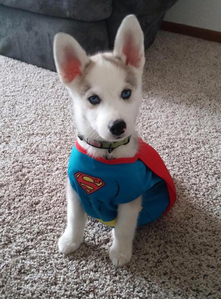 Husky Puppy Dog Wearing A Superman Costume Cute Dogs