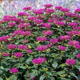 Monarda Blue Stocking - purple Bee Balm - great tea plant. Beautiful with rudbeckia. Deer resistant