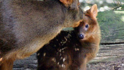 Cute Baby Pudu! One day old