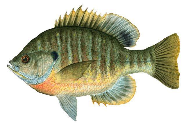 Bluegill fish example.... Lake Pinterest