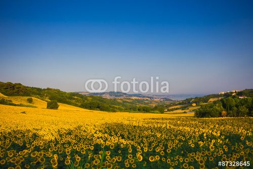 Sunflowers field in Ancona, marche - Italy. #Ancona #Rural #Landscape #Sunflowers #Agriculture #Sea #Water #Marche #Travel #Tourism #Country