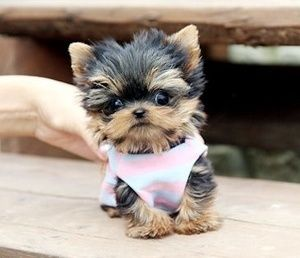 TEACUP YORKIE - Heaven sent - on a special mission to warm your heart.  Look at this one, Theresa Russell..... Love it