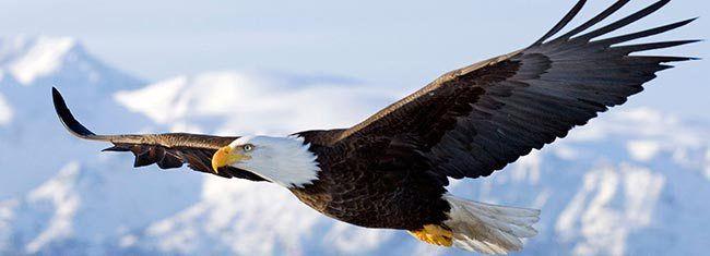 O ritual de renovação da águia é verdade?