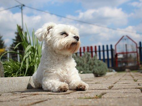 Amazing longest living dog breeds. Maltese dog breed has a personality and temperament that is affectionate, gentle, and without fear.