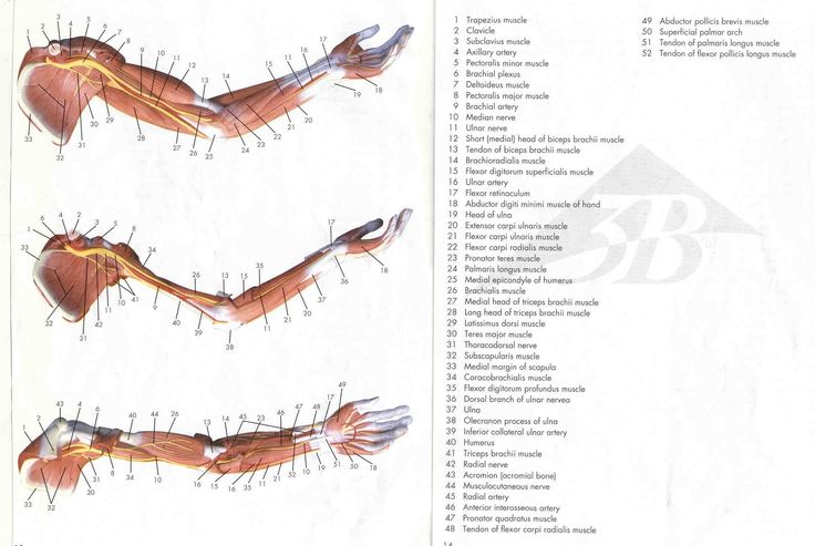 Arm muscles anatomy
