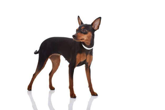 Las 5 cosas más importantes de los perros Pinscher Miniatura