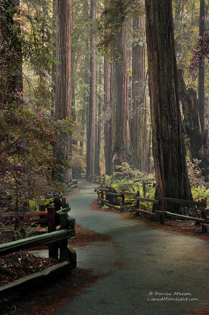 An Ancient Redwood Forest, northern Ca., by Darvin Atkeson