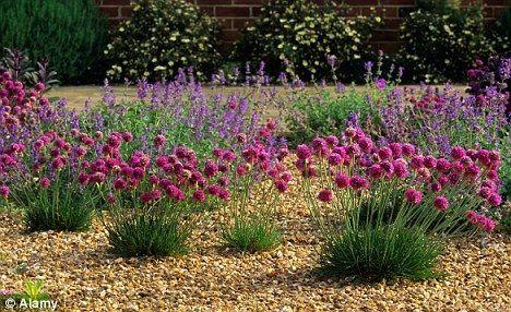 perennial garden ideas   ... martima and catmint have vibrant blooms - ideal for a gravel garden