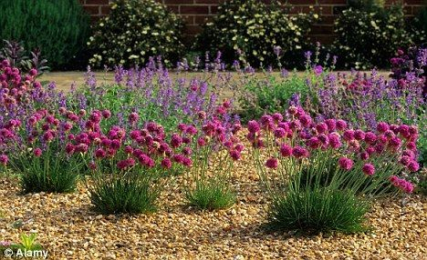 perennial garden ideas | ... martima and catmint have vibrant blooms - ideal for a gravel garden