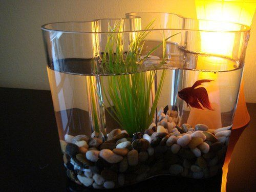 Aalto Vase can also be used as a fish bowl.   Look!: Joel's Savoy Vases | Apartment Therapy