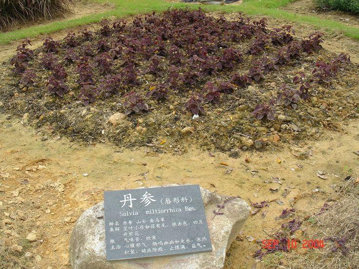 Salvia Miltiorrhiza - Dan Shen.JPG (1280×960)