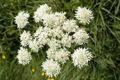 Cow Parsnip, Heracleum sphondylium