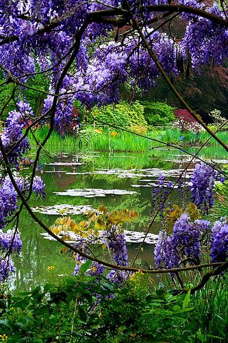 Wisteria overlooking pond in Monet's Garden, Giverny, France.