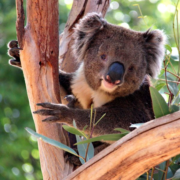 Koala in Eucalyptus Tree, Adelaide http://www.genders.com.au/