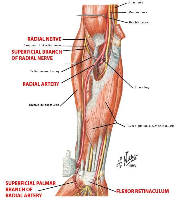 77 best anatomy references - arm images on Pinterest | Anatomy ...