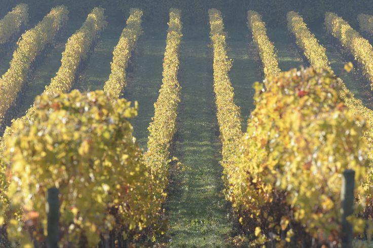 Les vignes _ Photo YLB