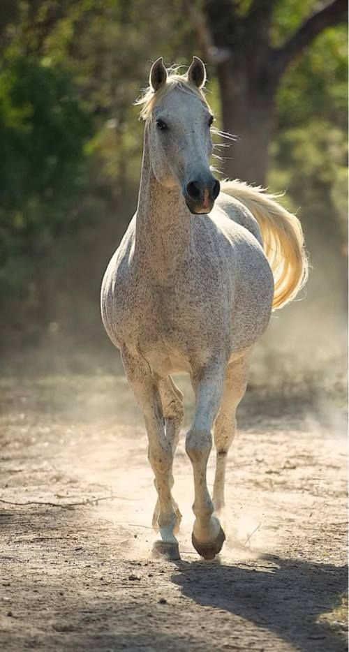 Arabian Horse...amazing, magnificent breed that I was privileged to spend years enjoying. EM