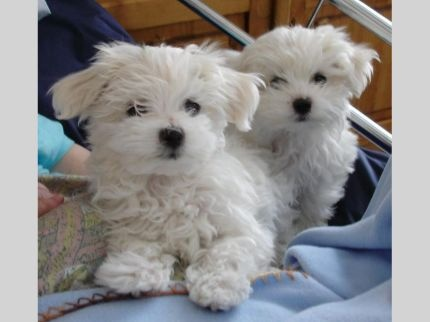 free maltese puppies maltese puppies needs new homes in pennsylvania pa free 5411