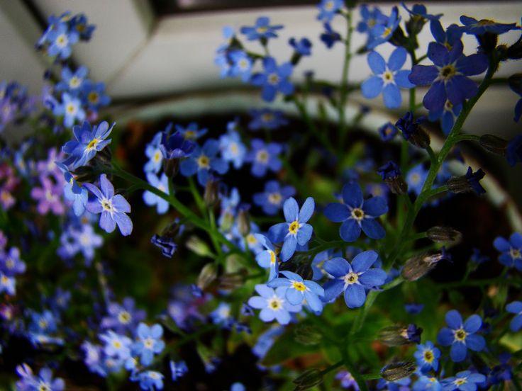Niezapominajki w doniczce na Hydroboxie. #hydrobox #hydroboxpl #kwiaty #kwiatydoniczkowe #flowers #flower #niezapominajki #balkon #ideas #dekoracje #wiosenneinspiracje #forgetmenot