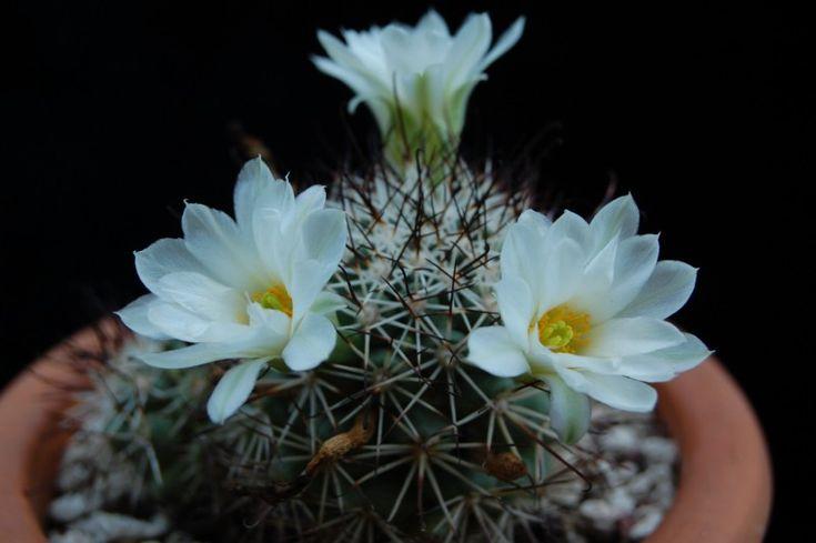 Mammillaria schumannii - white flowers