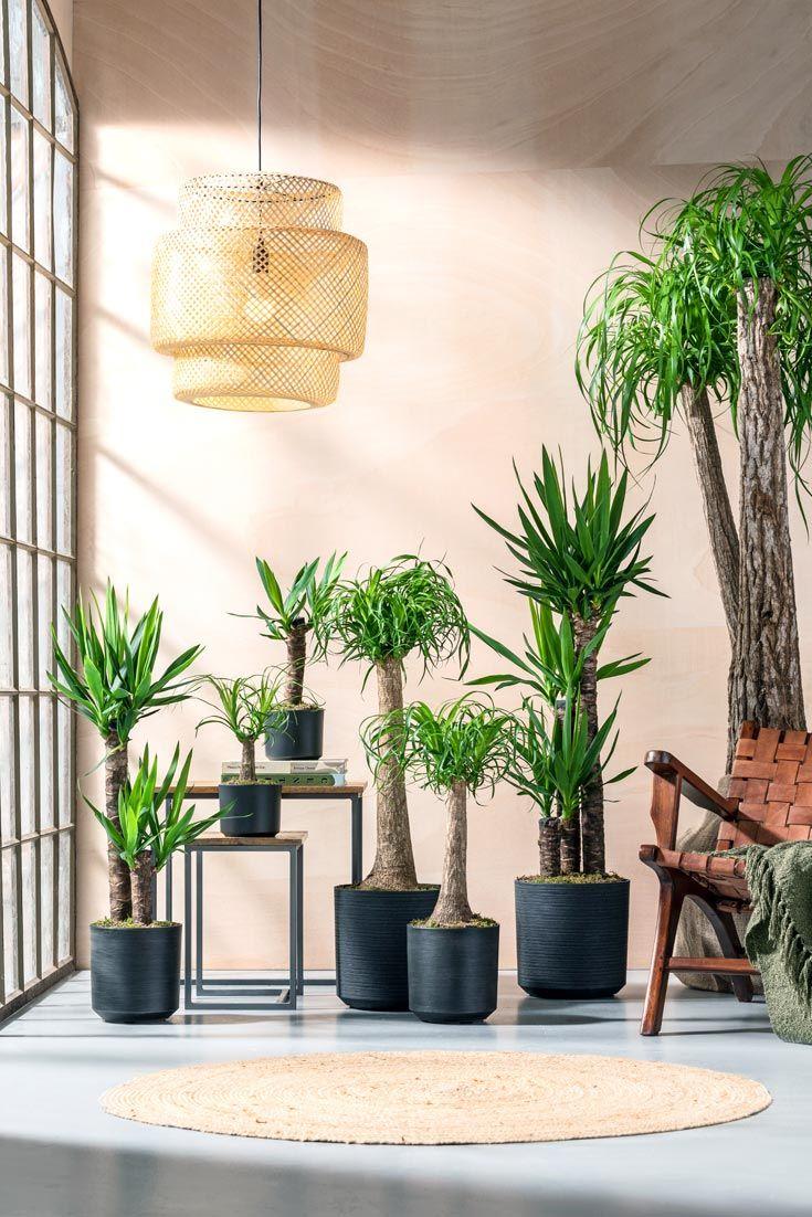 Palmen Fieber Zimmerpflanzen Yucca Palme Pflanzen