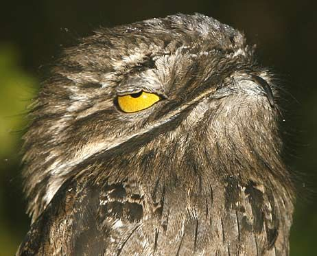 The great potoo is a very large bird at 19-24 inches (48-60 cm) in length and…