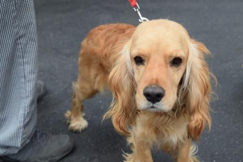 Adopt Lucas B a Red/Golden/Orange/Chestnut Cocker Spaniel / Mixed dog in   Orange, Red Male Cocker Spaniel For Sale in Seattle WA   4232914888   4232914888   Dogs on Oodle Marketplace