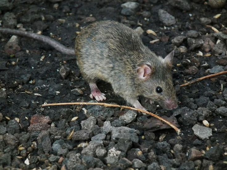 Rats And Mice The Damage They Cause Rats Safe Pest Control Pest Control