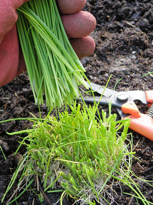 Clipping Chives