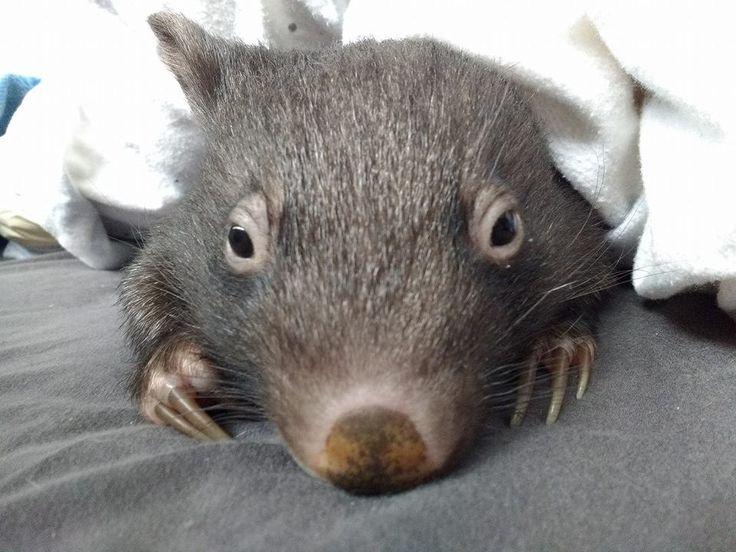 Orphaned Baby Wombats Refuse To Sleep Alone