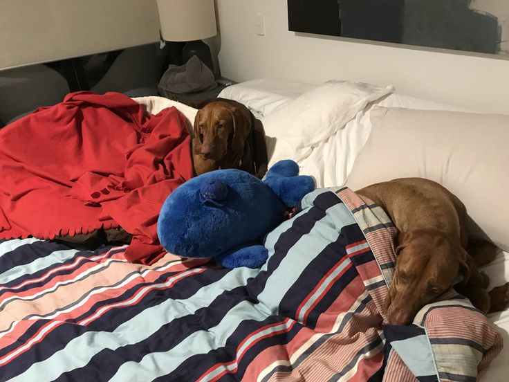 Vizslas Hedges and Vyzby in the main bed with Blue Whale.  They have many beds but this is a favourite.