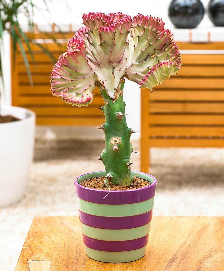 Voor meer informatie over Euphorbia lactea  'Cristata' ga naar online tuincentrum Bakker.com