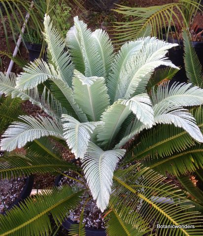 Cycad Dioon merolae new flush!