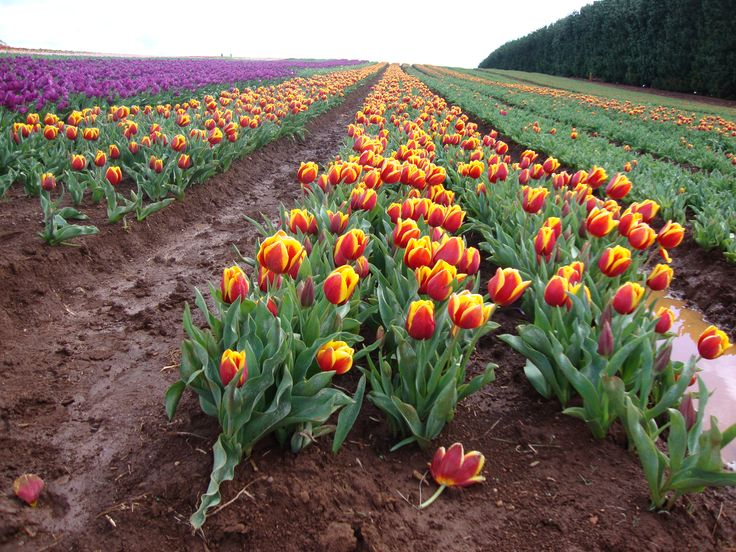 A visit to the lovely Tulip Farm at Table Cape in Spring. Open to the public for three weeks of the year Van Diemen's Quality Bulbs is a lovely place to appreciate the lovely colours of the Tulips