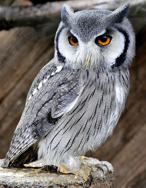 White Faced Scops Owl. Love that mustache!