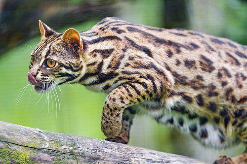 Asian leopard cat. #BigCatFamily