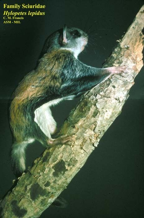 92 Best Flying Squirrels Of The World Images On Pinterest