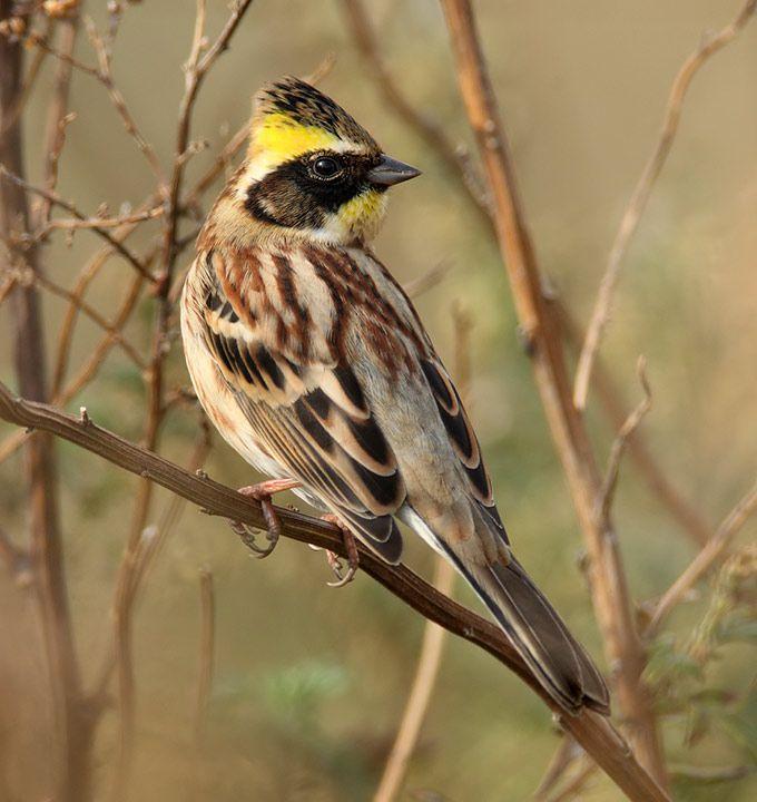 Yellow throated Bunting - First NA Record (Attu)