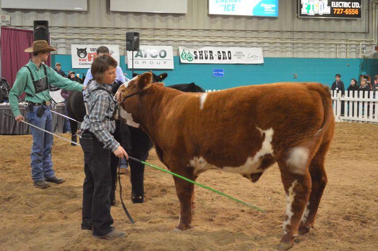 Cattle Show at the Brandon Royal Manitoba Winter Fair - Keystone Centre