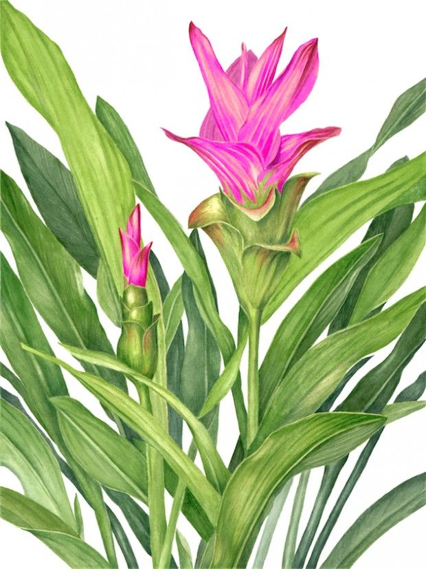GingerFlower Sally Jacobs WATERCOLOR