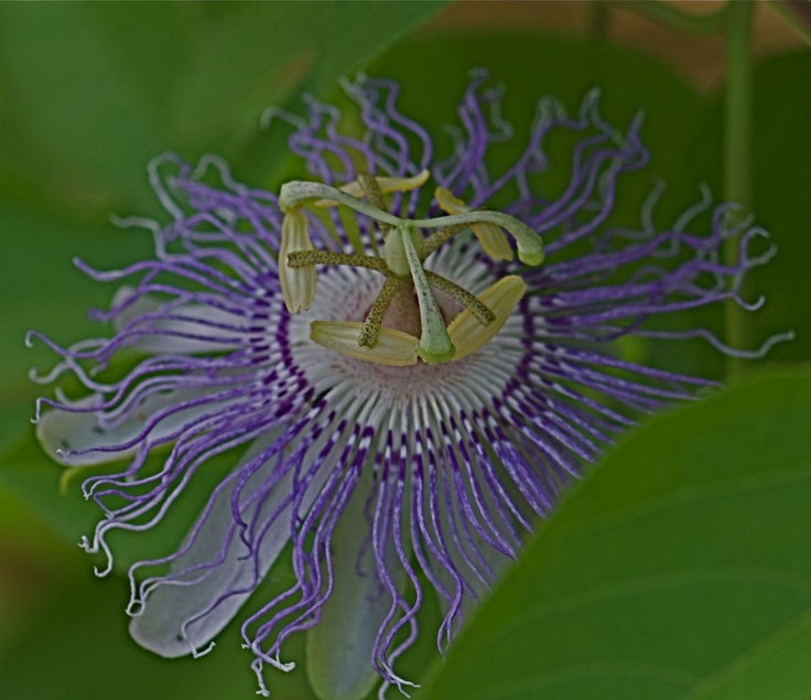 17 best images about mo native plants on pinterest