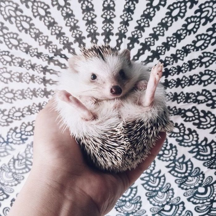 Pin On Hedgehog 101
